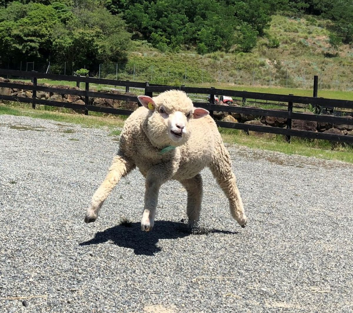 マッチョな羊が二本足で立つ